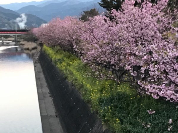 Sakura in Kawazu part2
