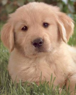 ARE YOU SURE YOU WANT A WHITE GOLDEN RETRIEVER