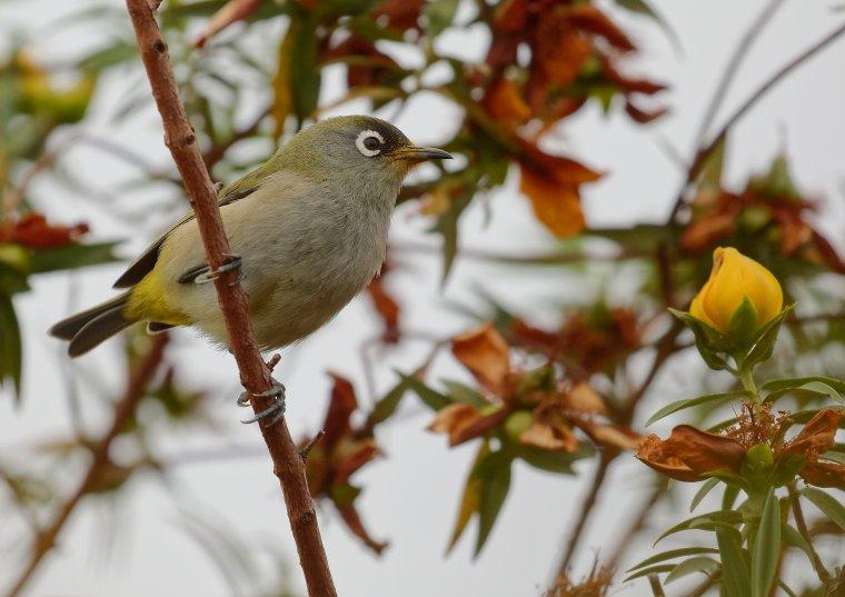 Oiseau vert ou Zostérops de la Réunion ( la Réunion )