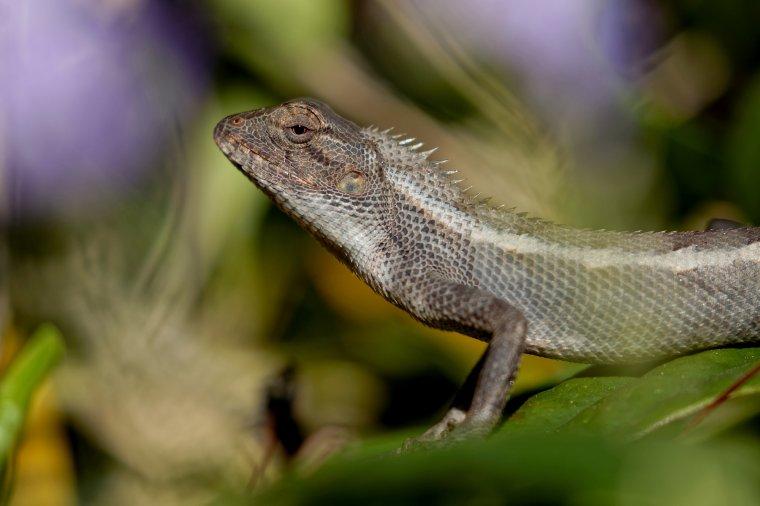 Agame arlequin ( la Réunion )