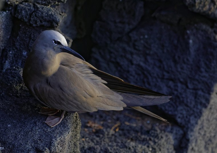 Noddi brun ou Macoua ( la Réunion )