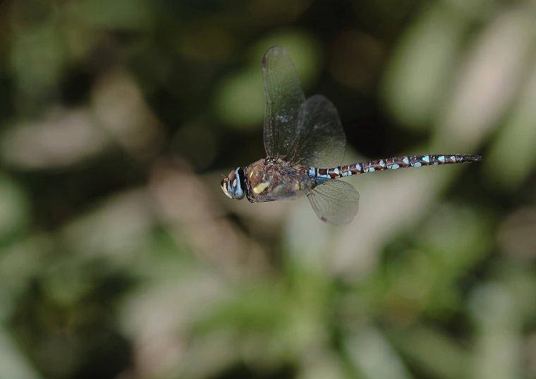 Æschne bleue