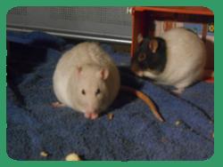 ●La chasse aux biscuits pour les rates●