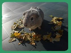 ●L'automne chez nos cochons d'inde●