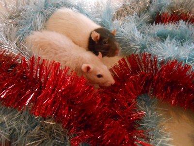 ●Merry Christmas de Chons-Rats●