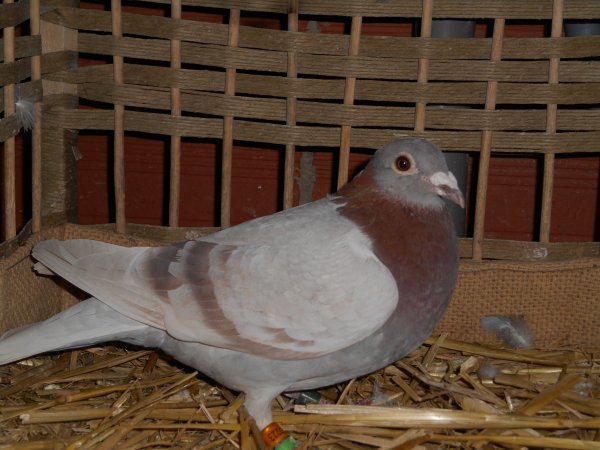 Signalement de pigeon NL