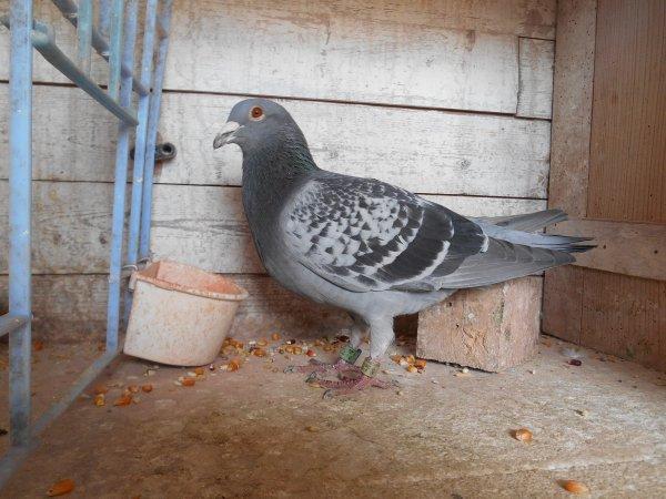 2 nouvelles lignes au Palmarès de JOSTEPH en As pigeon sur Perpignan International sur 2 et 3 ans
