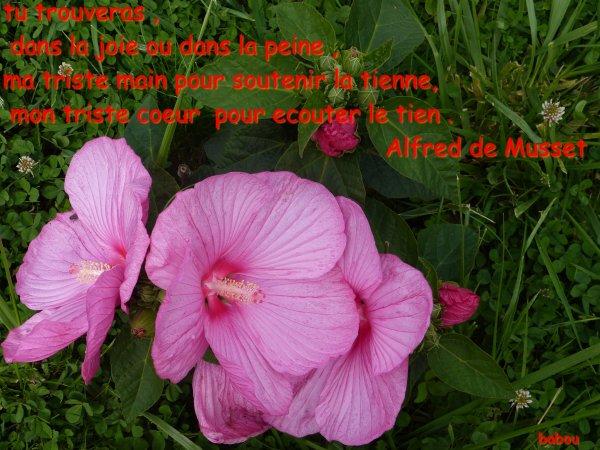 hibiscus geant