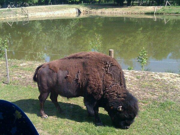 Sortie à Thoiry: bison d'Amérique