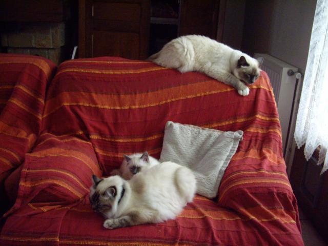 Arnold   Aline et Camberra les Sacré de Birmanie (ou  sacrés chats ?)