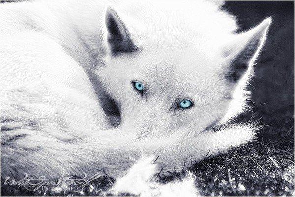 le loup solitaire
