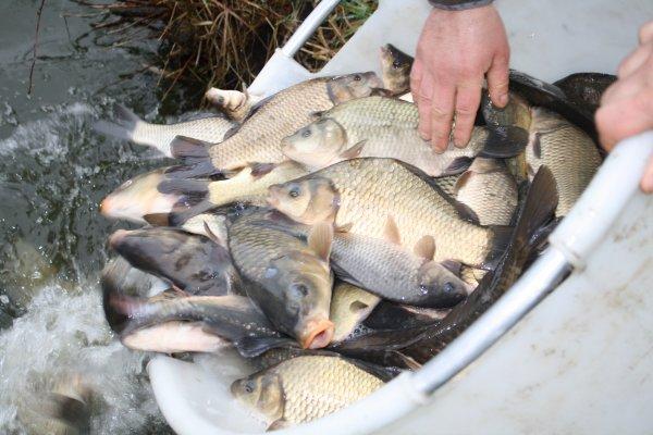 Rempoissonement à l'étang 3 pour 2013