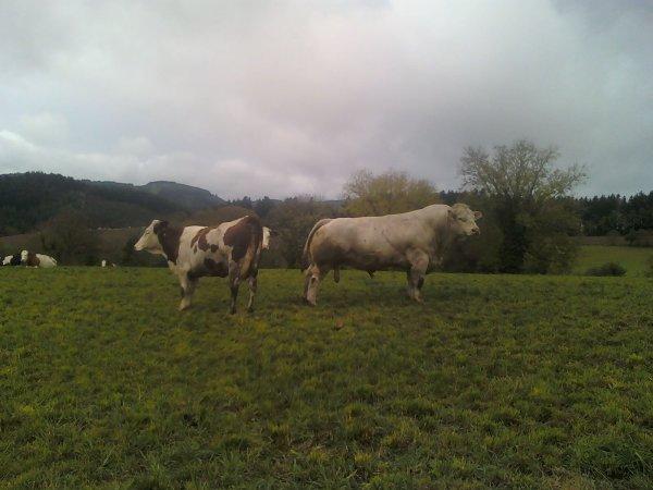 les vache de mon voisin