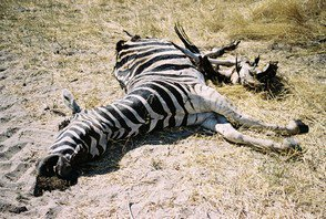 Dans la jungle, terrible jungle, le zèbre est mort ce soir...
