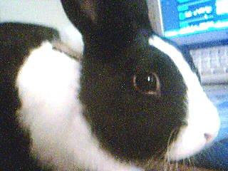 J'ai acheter un harnais à mon lapin mais ...