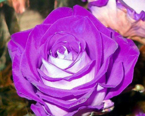 pour les fanes de rose