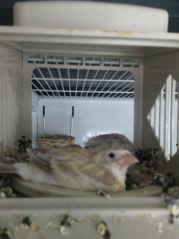 Les métis son sortie du nids