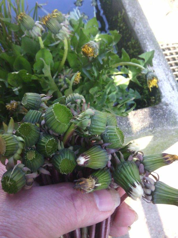 Récolte de tête de pissenlit