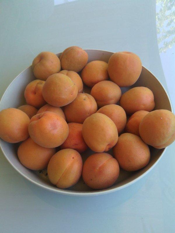 Les abricots de mon jardin