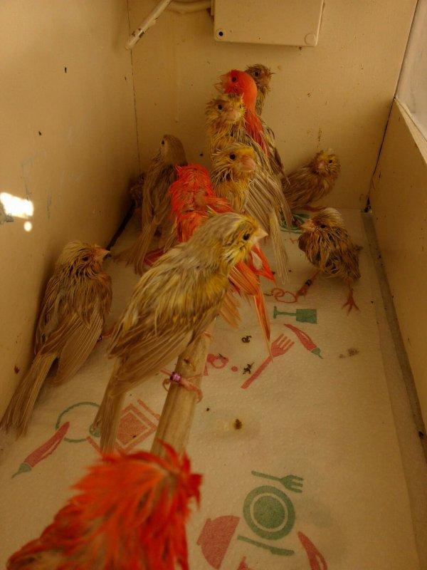 Séchage  des  oiseaux pour leuven