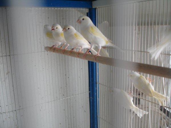 Yellow Mosaic Females in Preparation