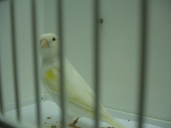 A268-46 Yellow Mosaic Female - Best Color Canary for the Show with 94 Pts - Champion Award