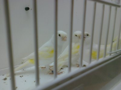 Jaune Mosaic Females