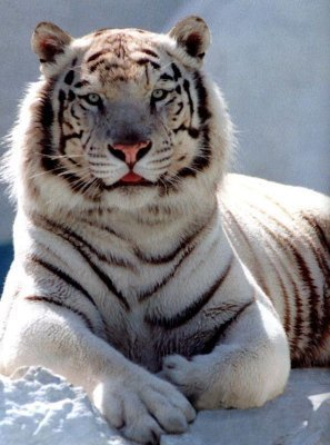tigre grrrrr
