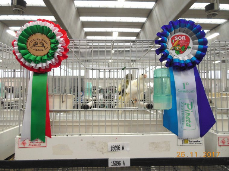 White North Frill Canaries Team , 1st - 368 points in   International Show of Reggio Emilia 2017