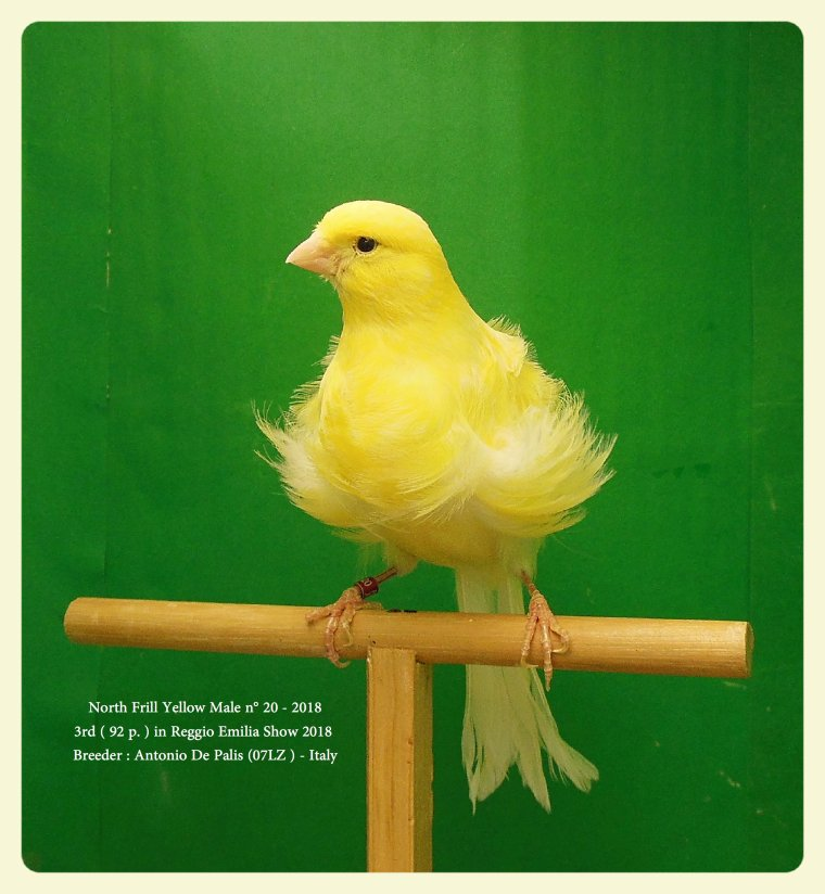 North Frill Yellow Male n° 20 - 2018