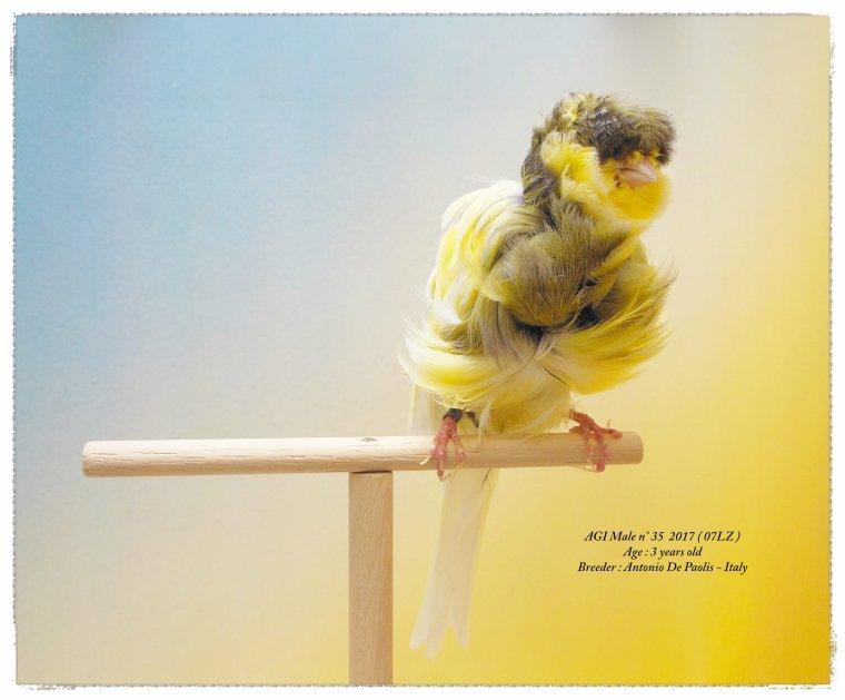 AGI Male Adult n° 35 2017 ( 07LZ )