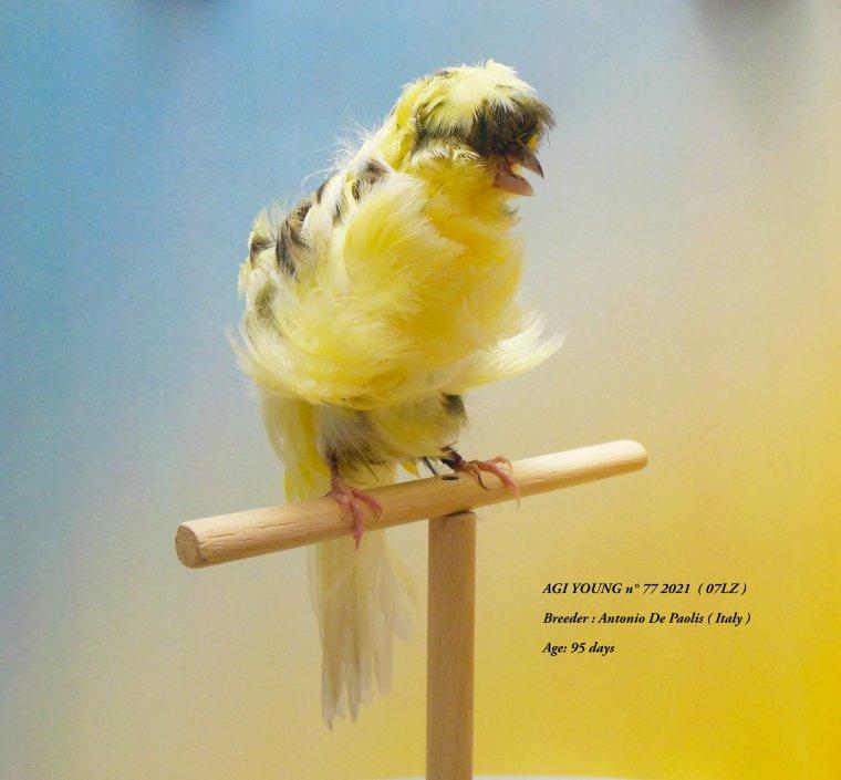 AGI Young n° 77  2021 ( 07LZ ) - Breeder : Antonio De Paolis