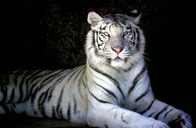 le tigre blanc du bengal