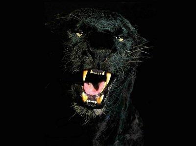 la pantère noire !!!!