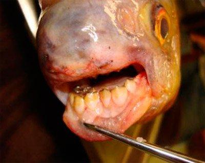 En Caroline du Sud (USA), un pêcheur capture un poisson qui a des dents humaines