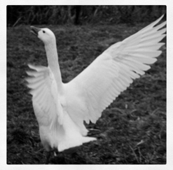 Témoignage de Pascaline : L'oie fantôme