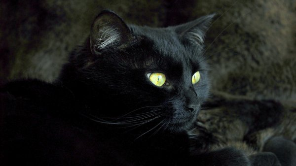 Assez Les chats noirs, des animaux maudits ? - Normal - Paranormal JB58