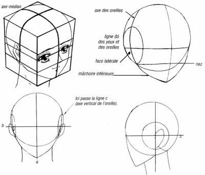 Portrait : dimensions de la tête.