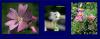 Belles  Fleurs  de  France