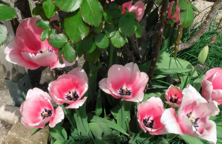 Tulipe élégante et éphémère