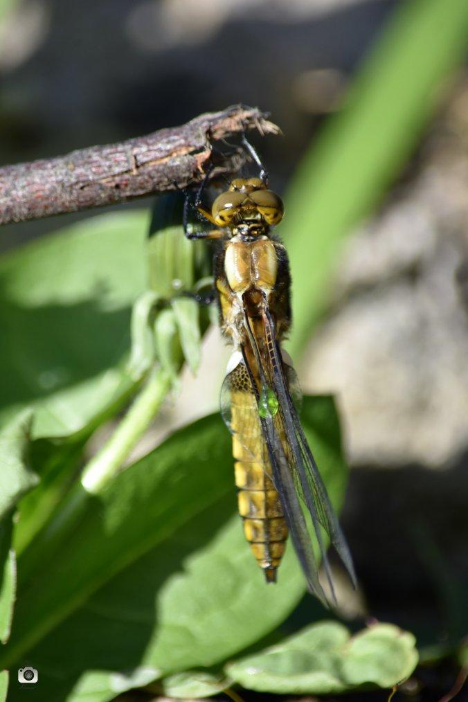 Mue libellule déprimée femelle 24.04.17