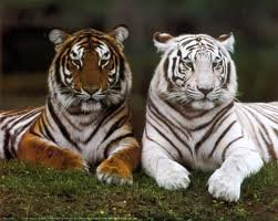 Tigre blanc et Tigre roux