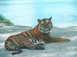 Tigre roux sur la plage