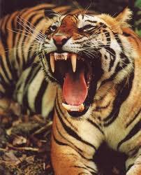 tigre roux