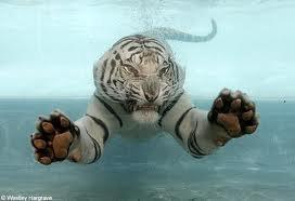 Tigre blanc sous l'eau