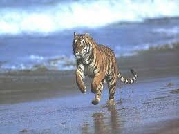 Trop beau le tigre sur la plage