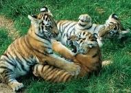Trop mignon les bébés tigres