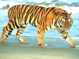 trop beau le tigre dans ce paysage