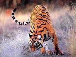 tigre en chasse