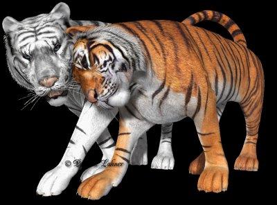 Tigre blanc et roux